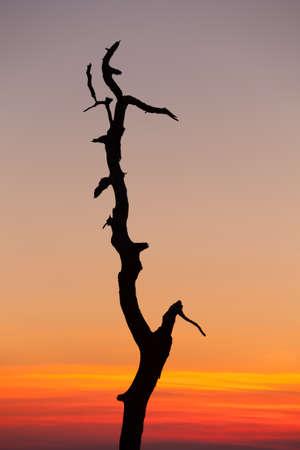 stark: Stark outline of tree against sunrise on Skyline Drive in Virginia