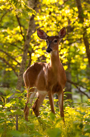 Big Meadow in the national park off Skyline Drive in Shenandoah valley Virginia is home to many white tailed deer photo