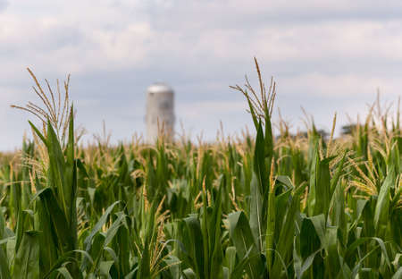 Close up of corn flowers and seeds on crop with farm silo in distance photo