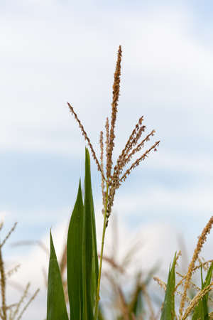 Close up of corn flowers and seeds on crop on farm Stockfoto