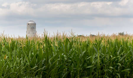 Close up of corn flowers and seeds on crop with farm silo in distance Stock Photo - 14474710