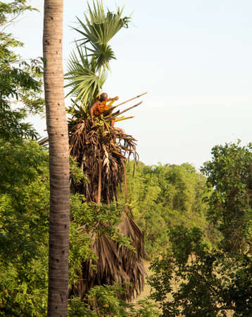 climbed: Orange clothed buddhist monk climbing palm tree to cut branches