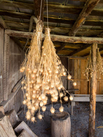 rafters: Bunches of drying Nigella plant herbs hanging from rafters of wooden barn Stock Photo