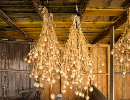 Bunches of drying Nigella plant herbs hanging from rafters of wooden barn Stock Photo - 14591184
