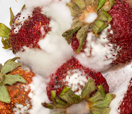 moldy: Macro photo of four mouldy strawberries covered in white fungus and decaying Stock Photo