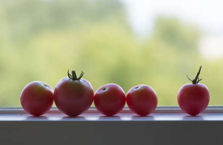 ripen: Row of home grown tomatoes ripening on window sill in sunshine Stock Photo