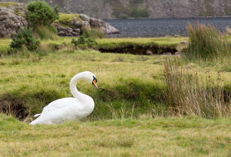 White swan by Wastwater in English Lake District Stock Photo