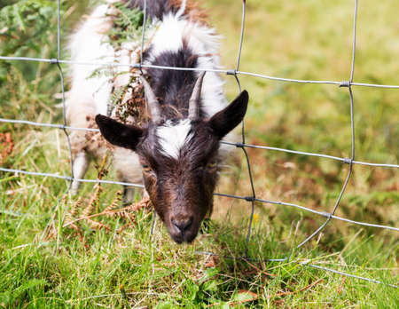 Head of lamb or sheep or goat stuck in wire fence in english lake district field Stock Photo - 15363475