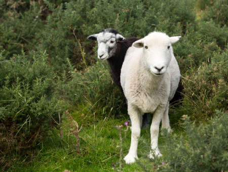 White and black sheep stare at viewer in English Lake District Stock Photo - 15363332