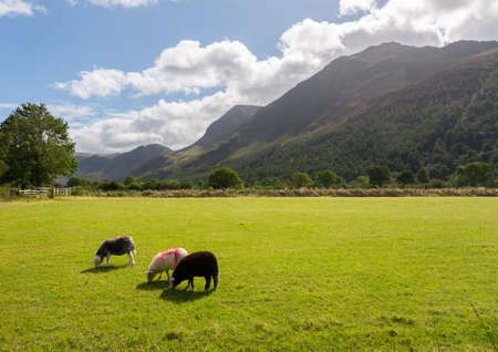 cumbria: Sheep grazing in meadow under Fleetwith Pike by Buttermere in English Lake District Stock Photo