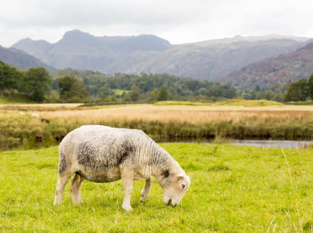 Sheep nibbling grass in front of Langdale Pike in English Lake District Stock Photo - 15363402