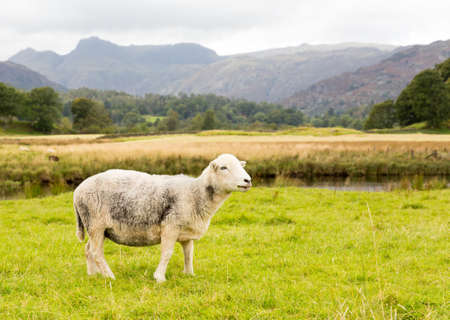 Sheep nibbling grass in front of Langdale Pike in English Lake District Stock Photo - 15363409