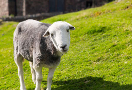 White and black sheep stare at viewer in English Lake District