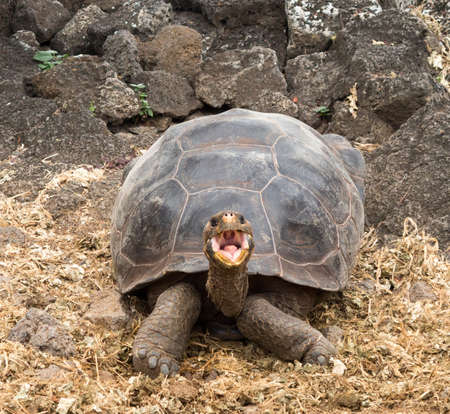 ancient turtles: Large Galapagos giant tortoise or turtle unique to Galapagos islands Stock Photo