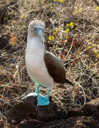 booby: Blue footed booby is seabird famous for living on Galapagos Islands National Park in Ecuador