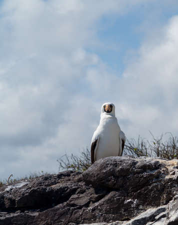 booby: Nazca booby is seabird famous for living on Galapagos Islands National Park in Ecuador