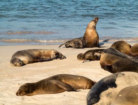 Sello individual se encuentra en la playa en las Islas Galápagos en Ecuador