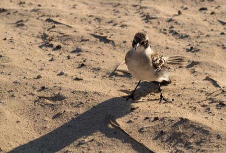 mockingbird: Small Galapagos Mockingbird or mocking bird on beach of Galapagos Islands national park