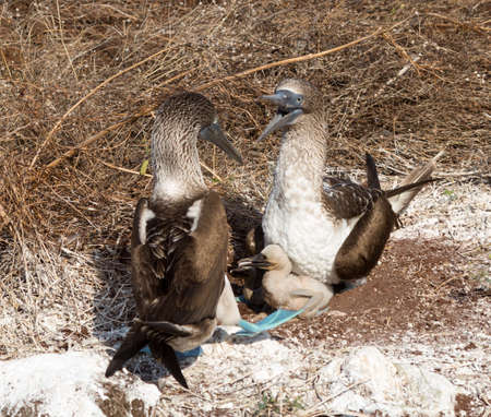 booby: Blue footed booby is seabird with baby chick living on Galapagos Islands National Park in Ecuador