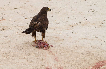 entrails: Galapagos hawk with remains of freshly killed meat of an iguana on sandy beach