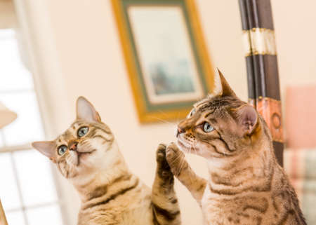 Orange and brown bengal kitten cat looking at reflection in mirror