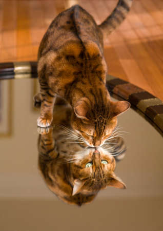 mirror: Orange and brown bengal kitten cat looking at reflection in mirror