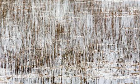 canne: Campo vuoto di canne in acqua di fiume nel parco nazionale di Everglades florida