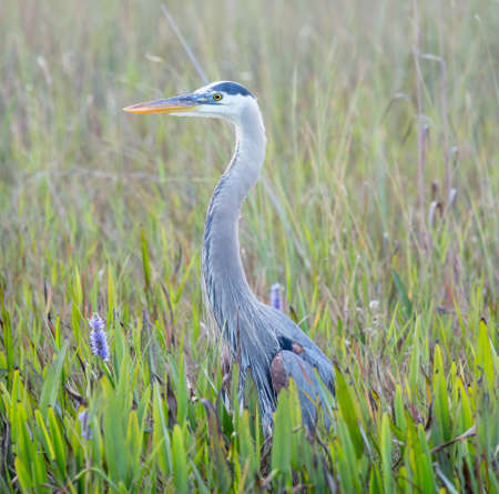 great blue heron: Side view of Great Blue Heron in Everglades National Park Florida Stock Photo