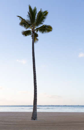 sidelit: Lone single straight palm tree on sandy beach with ocean in background at Waikiki in Oahu Hawaii