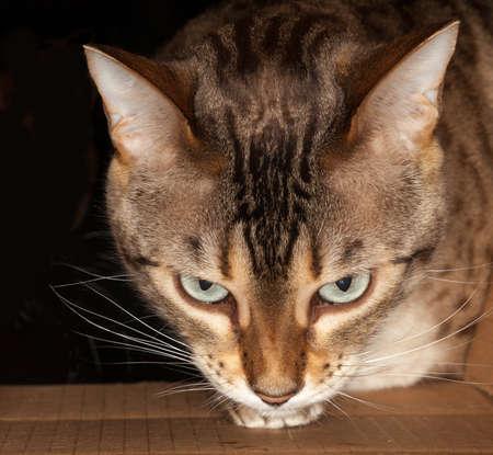 Bengal kitten seeking food and pushing its head through a cardboard box