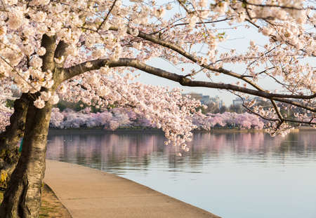 Detailed photo of a bunch of bright japanese cherry blossom flowers by path around tidal basin in Washington DC