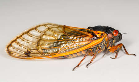 brood: Cicada from Brood II in 2013 in Virginia. Detailed macro image against white background