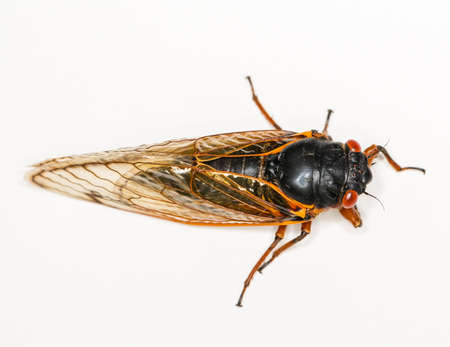 Cicada from Brood II in 2013 in Virginia. Detailed macro image against white background photo