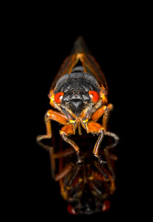 Cicada from Brood II in 2013 in Virginia. Detailed macro image against black background photo