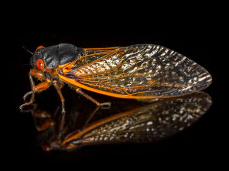 brood: Cicada from Brood II in 2013 in Virginia. Detailed macro image against black background Stock Photo