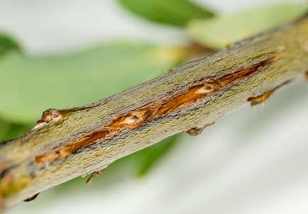 cicada bug: Cicada damage on tree twig from cicadas in Virginia.  Stock Photo