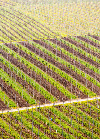 Pattern of rows of grape vines in vineyard in Castell Germany in spring as the first buds appear on the old vine as the leaders are tied to the wire framework photo