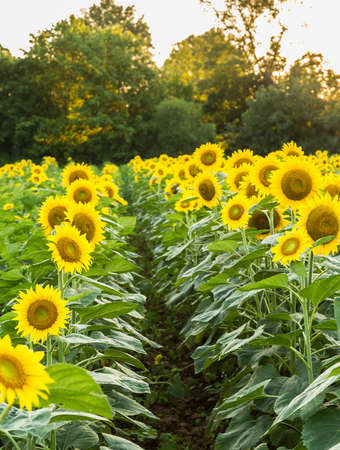 furrow: Field full of sunflowers in the late evening as the sun sets low in the sky backlighting the rows of flowers