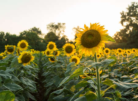 Field full of sunflowers in the late evening as the sun sets low in the sky backlighting the brilliant flowers