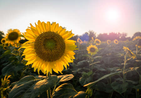 Field full of sunflowers in the late evening as the sun sets low in the sky backlighting the brilliant flowers with lens flare from the sun in the frame Stock Photo