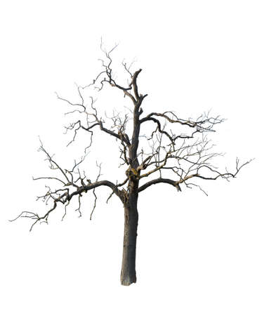 Ancient tree with dead branches cut out and isolated against white background