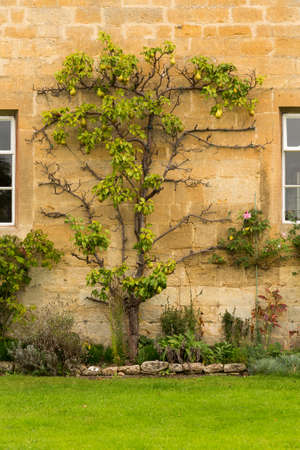 cotswold: Espalier pear tree in Stanton in Cotswold or Cotswolds district of southern England in the autumn.