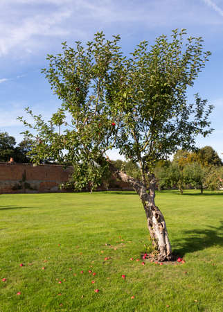 ripen: Apples on young apple tree in orchard fall to lawn as they ripen Stock Photo