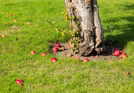 fallen fruit: Apples on young apple tree in orchard fall to lawn as they ripen Stock Photo