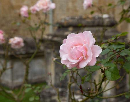 cotswold: Rosa rosa fiori nel cimitero di St. Mary Parish Church in Bibury in Cotswold o Cotswolds distretto