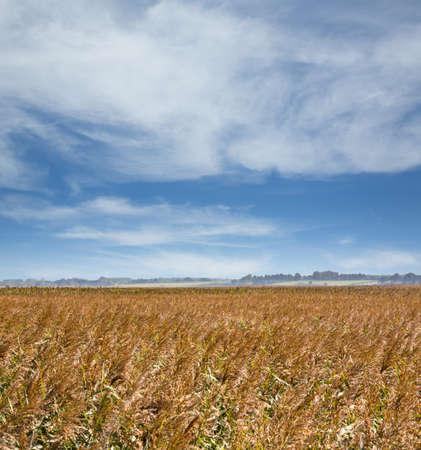 suffolk: Field of barley under big sky in Suffolk Eastern England in summer Stock Photo