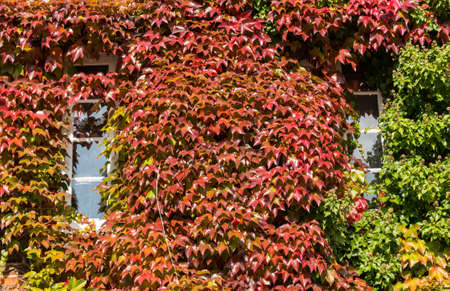 Growth of red and green ivy leaves surround white windows on old brick cottage or house photo