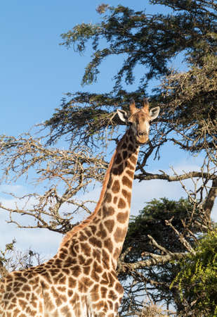 munching: Head and shoulders photo of tall African giraffe looking down at the camera from munching at leaves in the trees