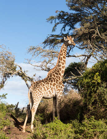 munching: Close photo of tall African giraffe looking down at the camera from munching at leaves in the trees