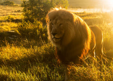 safari: Close up of an old large male lion with the sun shining brightly on his mane in the wild savannah in South Africa Stock Photo